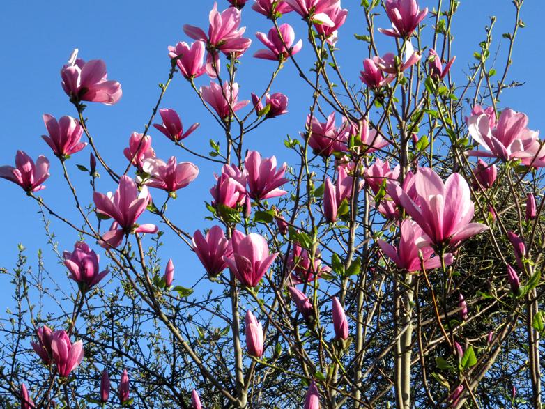 130522 39,1 Magnolia.